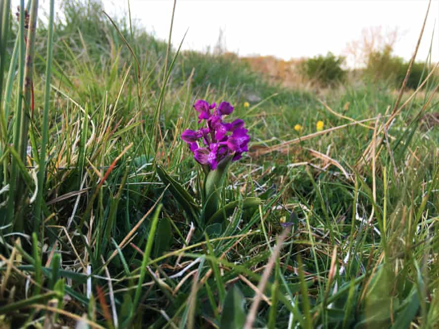 A green-winged orchid.
