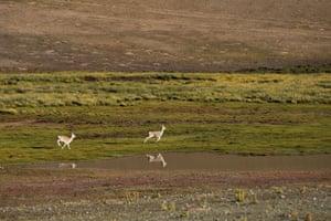 Tibetan gazelles near the Zhari Namco Lake in Ali, in Tibet