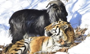 A single goat: Timur and Amur's burgeoning friendship has catapulted them to unlikely fame
