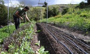 Urban farmer Eric Tomassini harvests snowball turnips at a backyard urban farm in Los Angeles which sells to customers via CSA.