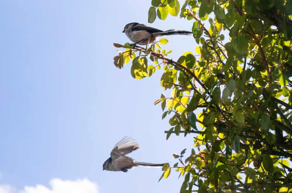 An adult long-tailed tit flies off as its' partner waits in the rose-bush where they are building nest