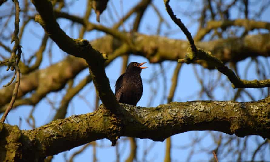 Blackbird in Upminster tree