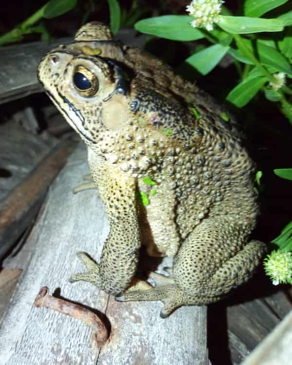 Asian toads are thought to have entered Madagascar by accident in 2008 and now number about 21 million.