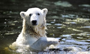 Knut the polar bear, who lives on as a life-size model at the Natural History Museum in Berlin.
