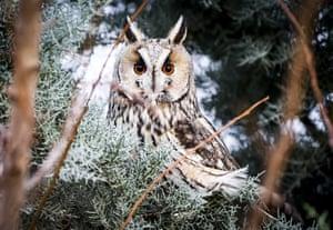A long-eared owl on a tree in Beyobası, Turkey
