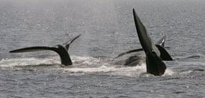 cape cod right whales