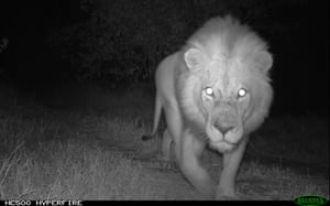 Culu the lion in Limpopo national park, caught by a camera trap.