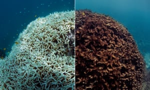 Dying and dead coral after bleaching at Lizard Island, north of Cooktown, on Australia's Great Barrier Reef. The image on the left from March 2016 is the coral after bleaching, the one on the right from May 2016 shows it after it has died and been blanketed by seaweed. Human-caused climate change is wiping out some reefs wholesale and many researchers fear coral reefs may not survive the century.