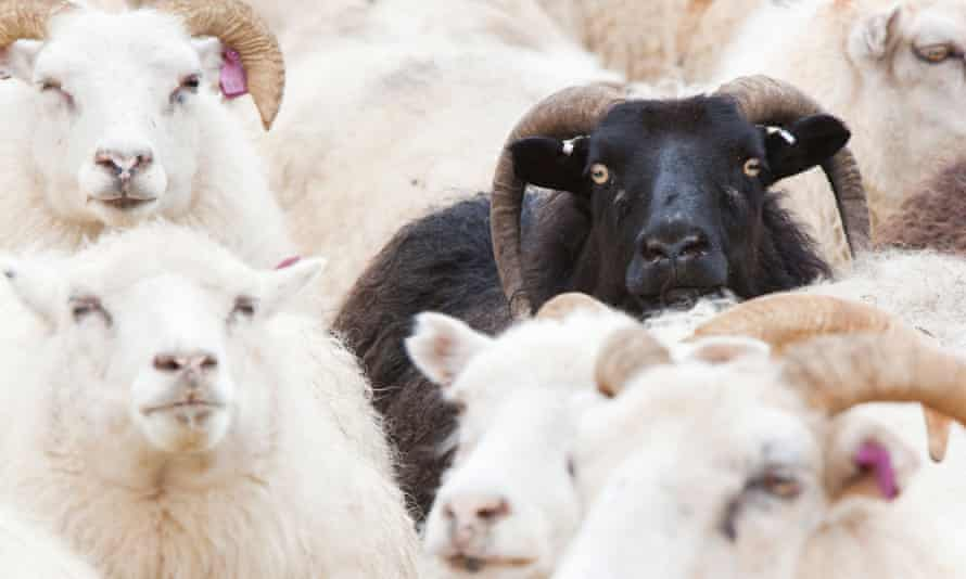A black sherep among a flock of white sheep