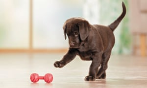 Labrador retriever puppy playing with a toy.