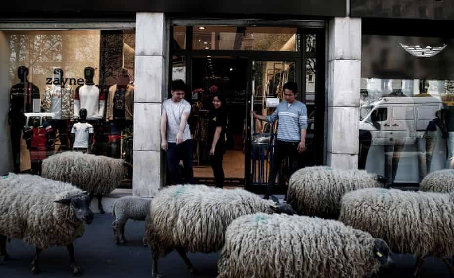 Sheep pass a shoe store in Paris