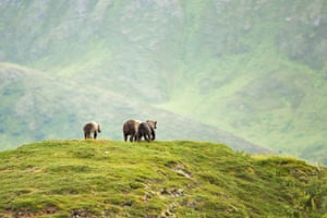 A Kodiak brown bear family on Kodiak Island wildlife refuge in Alaska