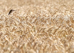 Essen, Germany. A house sparrow flies to the ripe ears of a barley field.