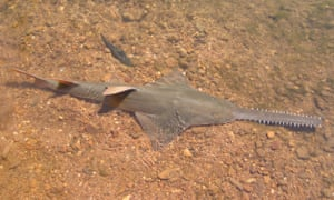 A largetooth sawfish