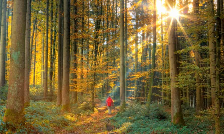 Hiker walking in forest, beams of sunlight busting through beech trees
