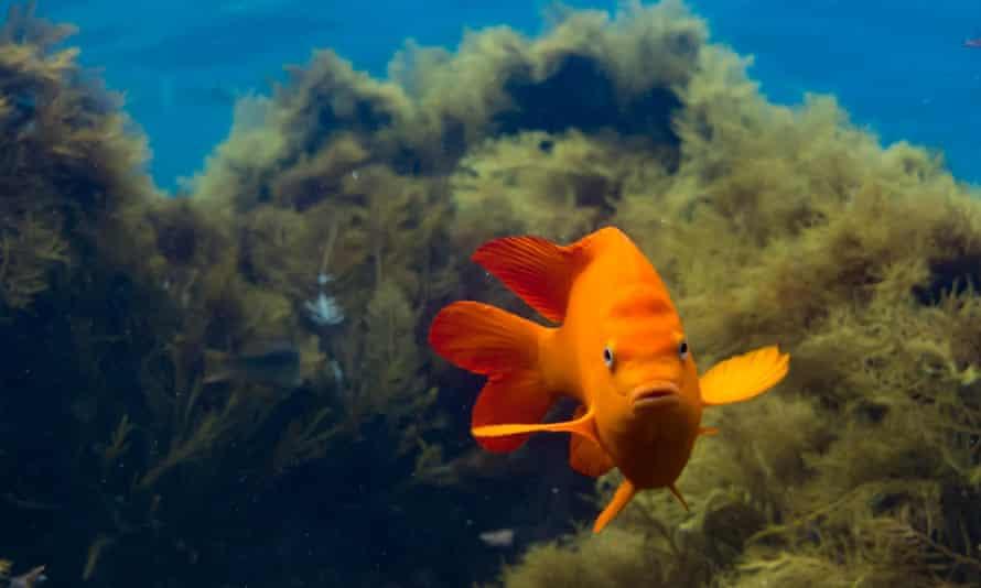 A garibaldi fish