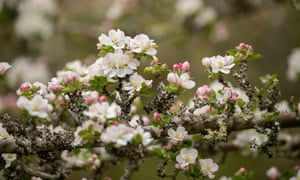 Apple blossom in the traditional orchard at Cotehele.