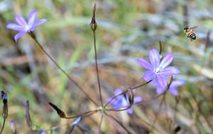 A honey bee pollinates the endangered Brodiaea plant in the hills above Glendora, California