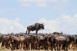 Jean-Jacques Alcalay was highly commended for his blue wildebeest who appears to ride a wave of hundreds of other wildebeest in Masai Mara, Kenya.