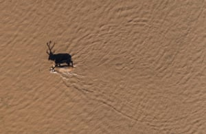 An elk wades through a river in the Shishou Elk national natural reserve in Jingzhou, China