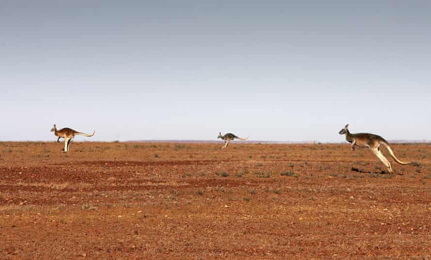 Kangaroos on the move near Marree, South Australia