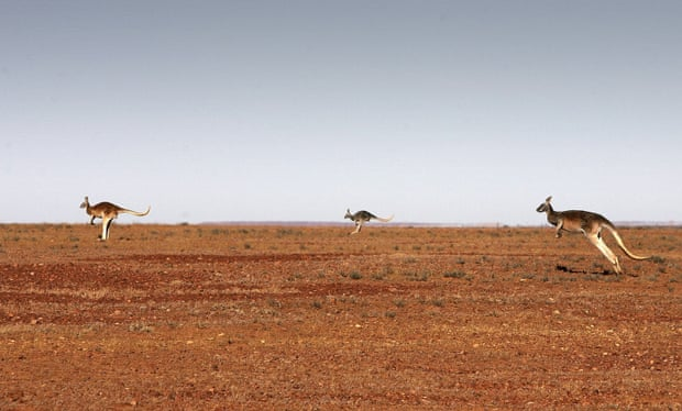 Kangaroos on the move near Marree, South Australia. Photograph: Ian Waldie/Getty Images