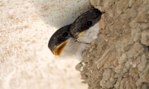 House martin chicks peer from a nest as they wait to be fed