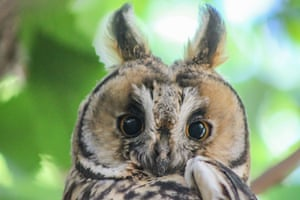 Sanliurfa, Turkey A long-eared owl perches on the branch of a tree