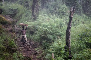 An illegal logger carries a massive beam of Mulanje cedar down the mountain.