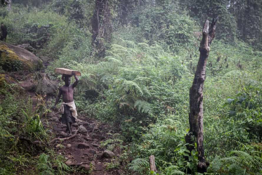 An illegal logger carries a beam of Mulanje cedar down the mountain.