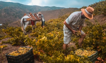 Two men picking grapes and loading them into the panniers of a horse in the Spanish hills
