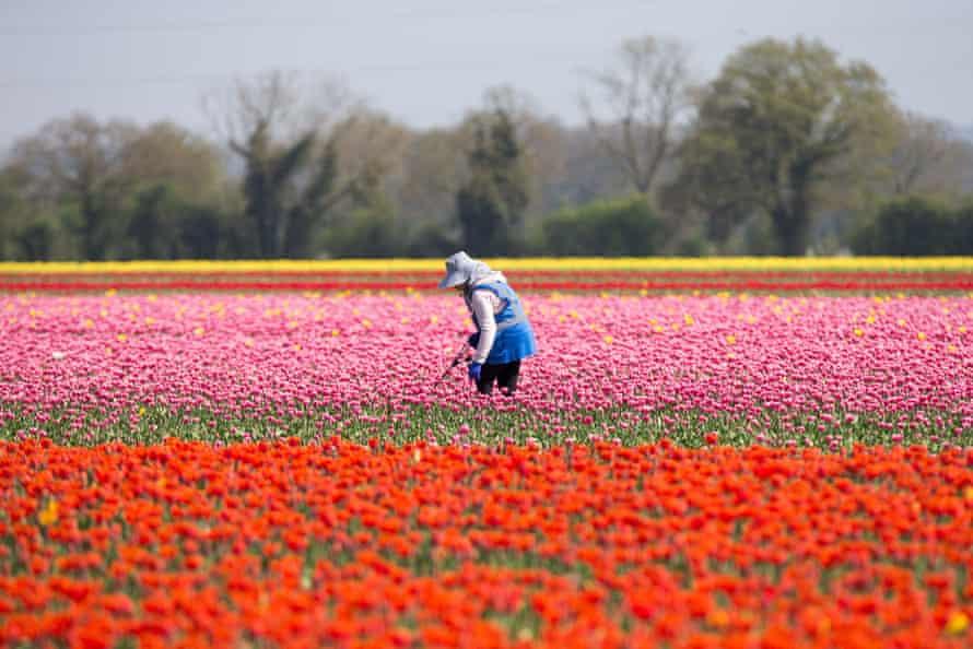 Tulip fields in flower, King's Lynn, UK.