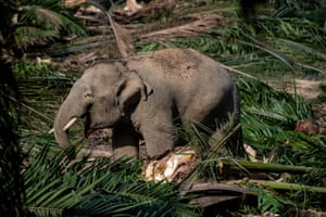 A Borneo elephant walks through an oil palm plantation and eat trunks of 'chipped' old oil palm trees at Sabah Softwoods Berhad in the state of Sabah, Borneo
