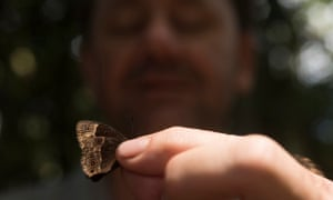 This is the first recorded capture of a new species of Bicyclus butterfly. Found on top of the dryer ridges deep in the forest during moments of scattered sunshine. Professor Bayliss believes this to be a completely new species unknown to science and never before seen on their previous research trips here