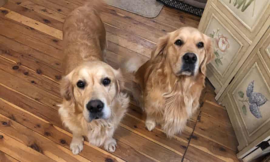 two golden retrievers pose for the camera