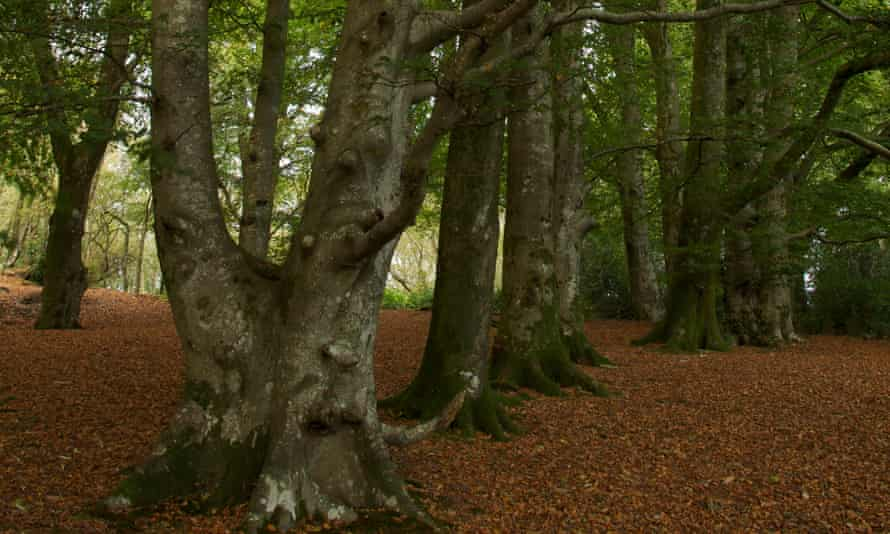 A grove of Beech trees Thorncombe wood.
