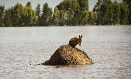 Rising flood waters trap a wallaby outside Dalby in Queensland, Australia, during December 2010.