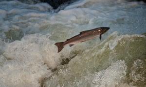 An Atlantic salmon jumps a small waterfall.
