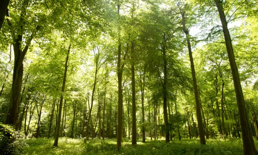 Sunlight in an English forest – volatile gases emitted by trees redirect incoming light.
