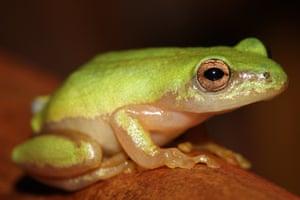 Pickersgill's reed frog