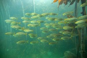 Fish swim in a kelp forest in False Bay, Cape Town