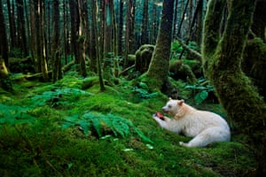 A forest kermode bear on Gribbell Island, Canada