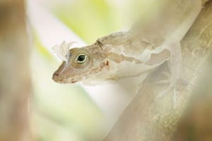 Up close and personal category winner: Roberto García Roa, Anolis lizard changing skin.