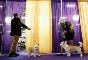 Portuguese Podengo breed dogs wait to compete at the 143rd Annual Westminster Kennel Club Dog Show