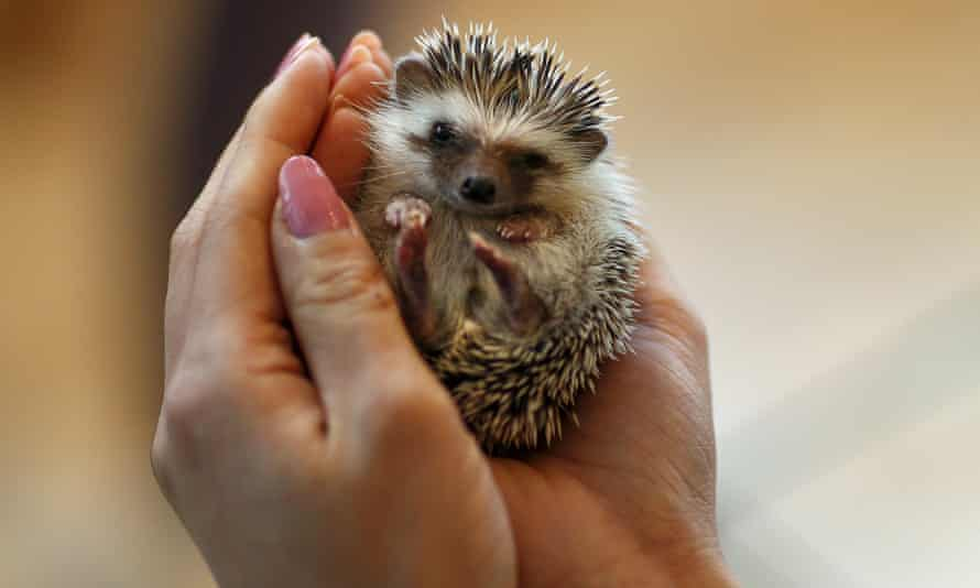 Prickly response: hedgehogs shouldn't be kissed, says the CDC.