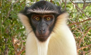 The Roloway monkey, from Ghana and the Ivory Coast, is thought to be 'on the very verge of extinction'.