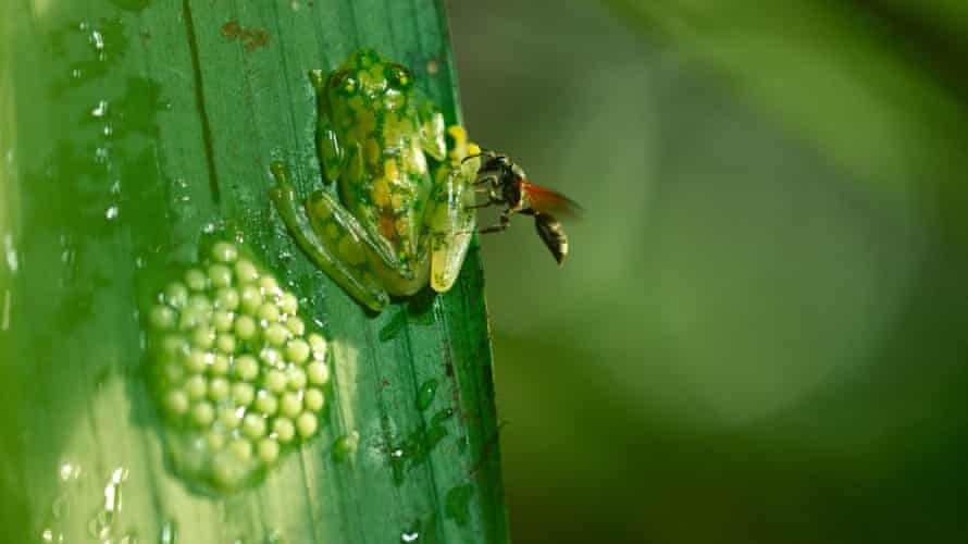 The Costa Rican glass frog fights off a wasp.