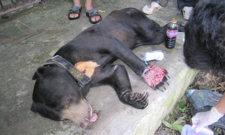 A radio-collared Malayan sun bear receiving medical treatment by Wildlife Alliance vets having been rescued from a snare in the Cardamom Rainforest Landscape, Cambodia. Sadly this individual died of his injuries.