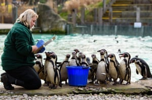 Zuzana Matyasova feeds and counts the penguins during the ZSL London Zoo annual stock take in London, England