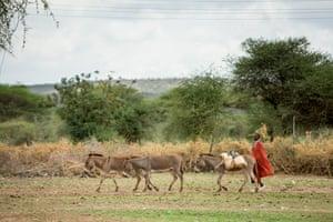 Donkeys with a farmer in Kenya, in  Kajiado County